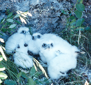 67b_peregrine-chicks_ANP