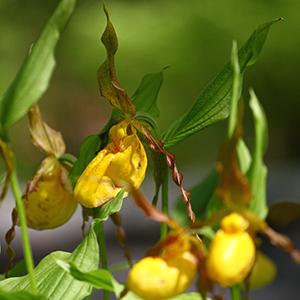 Yellowladyslippers