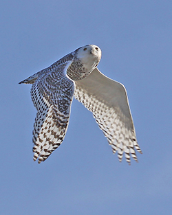Snowy Owl in Flight over Acadia. Rich MacDonald photo.