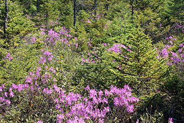 Rhodora in full bloom is just one of the natural wonders hidden in the Trenton Community Forest.