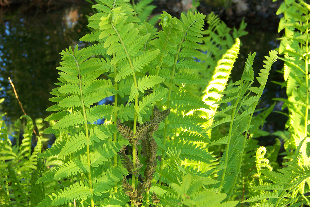 fern guide friends of acadia