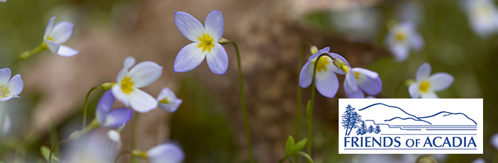 Bluets in bloom at the Wild Gardens