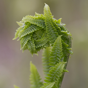 Interrupted Fern Unfurling