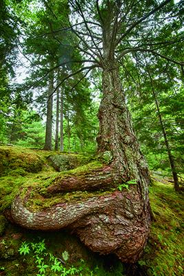 Moss & spruce tree, Seal Harbor, Mt. Desert Island, Maine