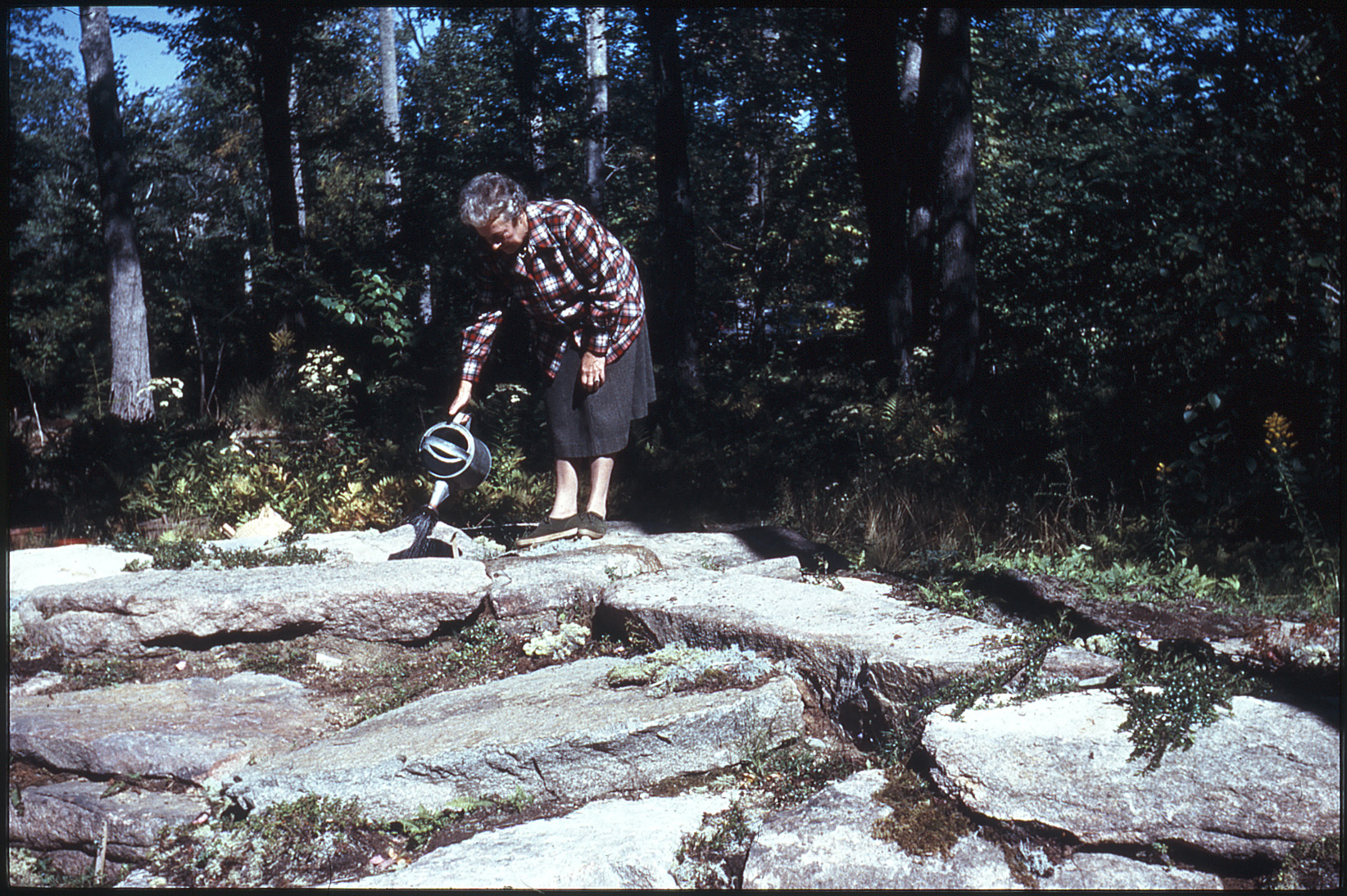 "This archive photo appears in The Wild Gardens of Acadia with the caption, ""By the spring of 1963, the native columbine (Aquilegia canadensis) that Elizabeth Thorndike grew from seed was ready to be planted on the Mountain, a habitat displaying plants that grow naturally at higher elevations. To ensure its survival, Thorndike regularly watered it, setting an example of stewardship for future volunteers."""